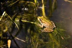 在一条安静的小河的青蛙 免版税库存图片