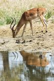 在一条小小河旁边的飞羚 免版税图库摄影
