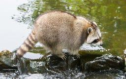 在一条小小河的成人浣熊 图库摄影