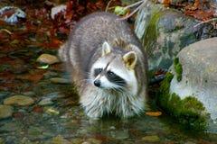 在一条小小河的浣熊身分 免版税库存图片