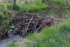 在一条小小河的海狸水坝 免版税库存照片