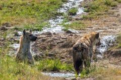 在一条小小河的鬣狗 免版税库存照片
