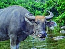 在一条小河的一头水牛在越南 免版税库存图片