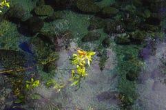 在一条小河的杨柳分支用清楚的水 免版税库存图片