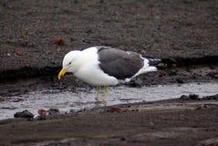 在一条小河的海带鸥在欺骗岛,南极洲 库存图片