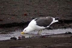 在一条小河的海带鸥在欺骗岛,南极洲 免版税库存照片