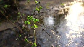 在一条小河的背景的绿色叶子在日落的 股票录像