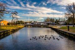 在一条小河的鸭子,在圣迈克尔的,马里兰 免版税库存图片