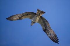 在一条小船的一美好的天在五海,飞行的白鹭的羽毛, pandion ha 免版税库存图片
