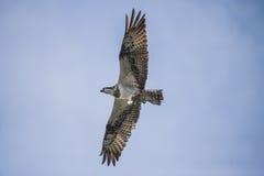 在一条小船的一美好的天在五海,飞行的白鹭的羽毛, pandion ha 库存照片
