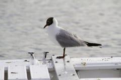 在一条小船的海鸥在亚得里亚海 库存照片