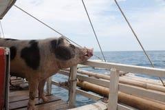 在一条小船的猪运输在海岛之间 从马斯巴特岛向班乃岛 库存照片