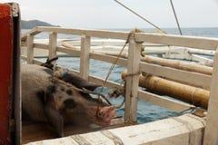 在一条小船的猪运输在海岛之间 库存图片