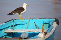 在一条小船的Belcher的鸥在Paracas海湾,秘鲁 图库摄影