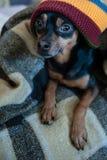 在一条帽子和毯子的逗人喜爱的小狗在房子里 库存照片