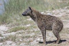在一条干燥河河岸不站立的被察觉的鬣狗 免版税库存图片