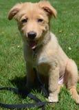 在一条幼小小的河鸭子狗的面孔的Griin 免版税库存图片