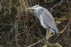 在一条快速流动的小河上的一个分支栖息的一美丽灰色苍鹭Ardea灰质 库存照片