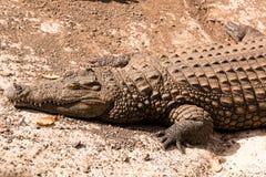 在一条懒惰鳄鱼或鳄鱼的看法 免版税库存图片
