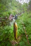 在一条极性小河的三文鱼渔 库存照片