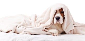 在一条毯子下的狗在白色 库存照片