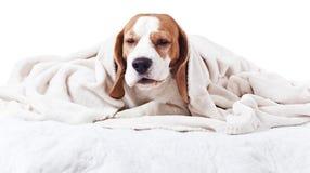 在一条毯子下的狗在白色 库存图片