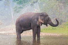 在一条河的大象在一个深森林里 库存照片