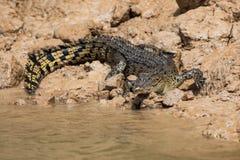 在一条河的泥泞的河岸的澳大利亚盐水鳄鱼湾鳄porosus在北澳大利亚 免版税图库摄影