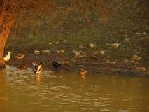 在一条河的鸭子日落的 免版税库存照片
