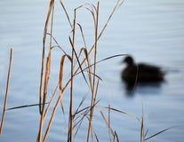 在一条河的鸭子游泳有在前景的芦苇的 库存照片