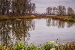 在一条沼泽的河的河岸的芦苇 秋天郊区风景 免版税图库摄影