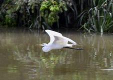 在一条浅河的巨大白色苍鹭飞行在Watercrest公园,达拉斯,得克萨斯 库存图片