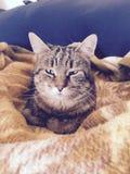 在一条温暖的毯子的美丽的猫 免版税库存图片