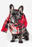 在一条温暖的围巾包裹的小狗 免版税库存图片