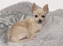在一条灰色羊毛毯子的浅黄色的米黄奇瓦瓦狗小狗 免版税库存照片