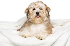在一条白色床罩的愉快的Bichon Havanese小狗 库存图片