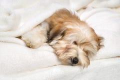 在一条白色床罩的逗人喜爱的睡觉Havanese小狗 库存图片