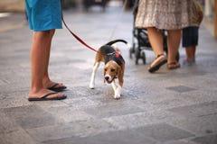 在一条皮带的一条狗步行的 库存照片
