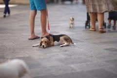 在一条皮带的一条狗步行的 免版税库存图片