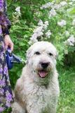 在一条皮带的南俄国牧羊犬有它的所有者的在淡紫色灌木背景的一个夏天公园  免版税库存图片