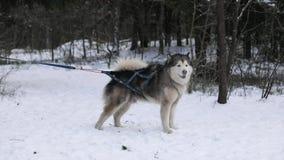 在一条皮带的爱斯基摩在冬天森林里 影视素材
