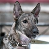 在一条皮带的狗狗在冬天 免版税库存图片