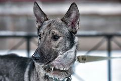 在一条皮带的狗狗在冬天 免版税库存照片