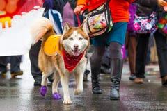 在一条皮带的街道走的多壳的狗在雨期间 免版税库存照片