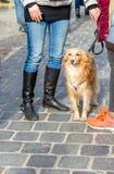 在一条皮带的金毛猎犬狗有在街道上的所有者的 文本的空间 库存照片