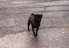 在一条皮带的黑哈巴狗在柏油路 图库摄影