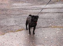 在一条皮带的黑哈巴狗在柏油路 库存照片