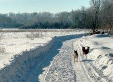 在一条积雪的农村路的狗 村庄街道,冬天,雪,漂泊,晴天 库存图片
