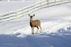 在一条积雪的路的鹿 免版税库存图片