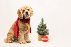 在一条红色围巾的美国美卡犬 库存照片